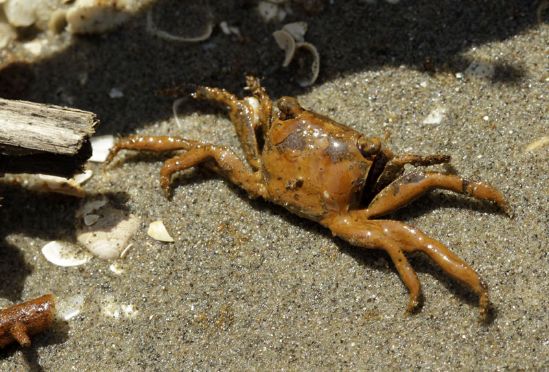 An oil-covered crab is seen on a beach at the mouth of the Mississippi River near Venice, La. Oil from last month's Deepwater Horizon oil rig explosion in the Gulf of Mexico has started drifting ashore along the Louisiana coast.