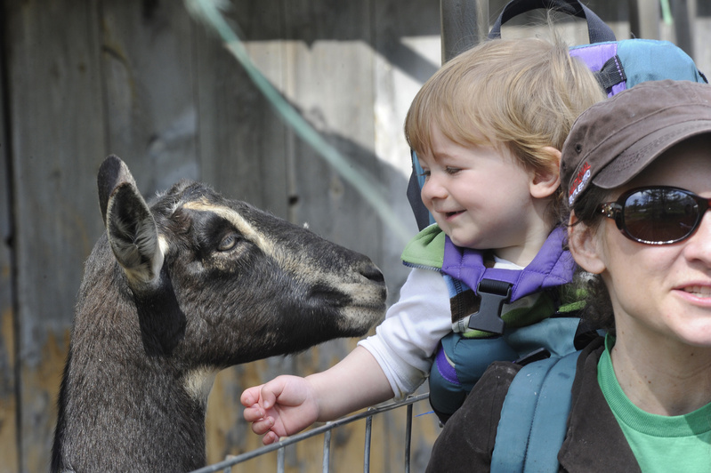 Cole Sawyer, 15 months old, and his mother Melissa Handschke of Rockland enjoy the goats during an open farm day in Appleton.