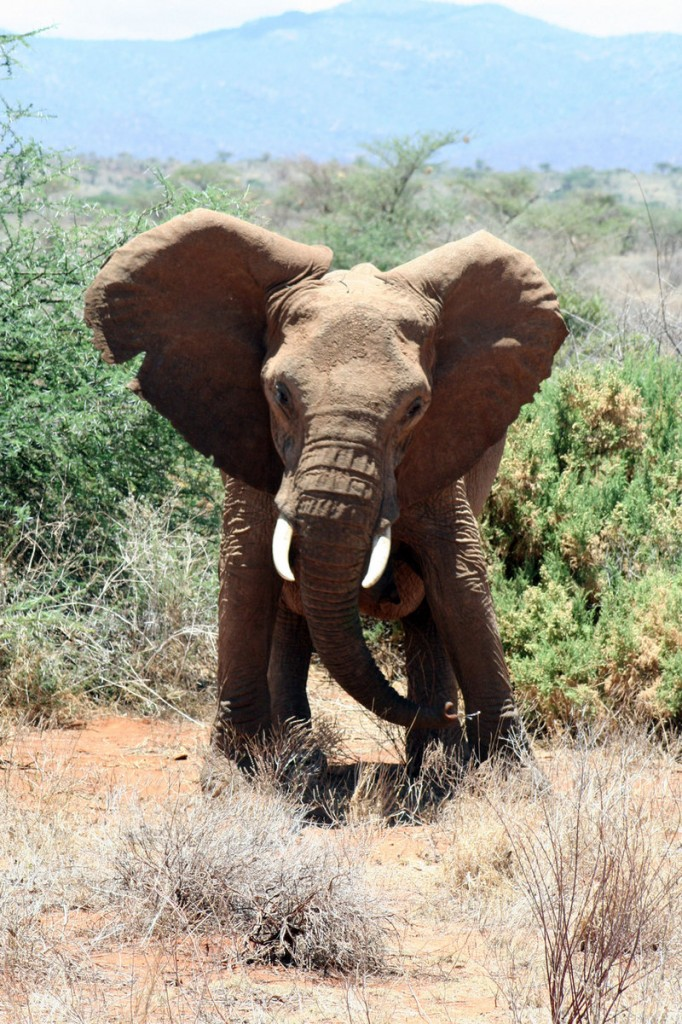An elephant shakes its head on hearing the sound of bees in Kenya's Samburu National Park. Researcher Lucy King, who took this photo, speculates that stringing hives around African farmers' crops could solve an inter-species conflict.