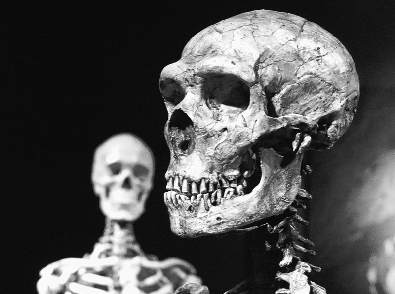 A reconstructed Neanderthal skeleton, right, and a modern human version of a skeleton are on display at the Museum of Natural History in New York.