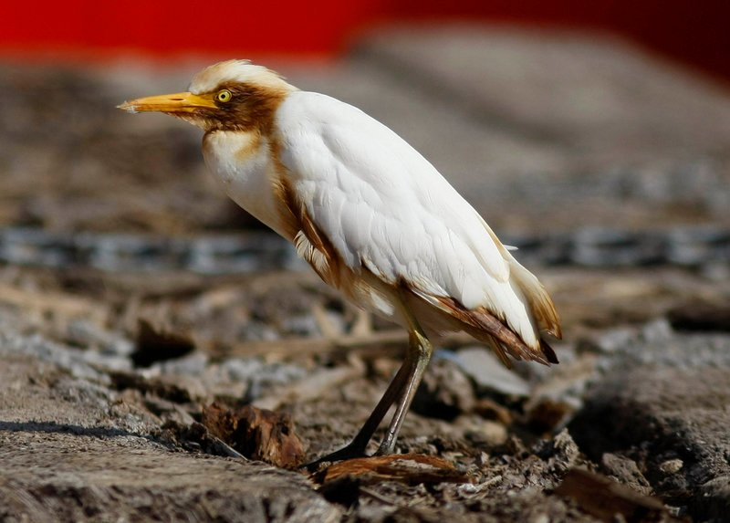 An oil-stained cattle egret rests on the deck of the supply vessel Joe Griffin at the site of the Deepwater Horizon oil spill containment efforts off the coast of Louisiana on Sunday.