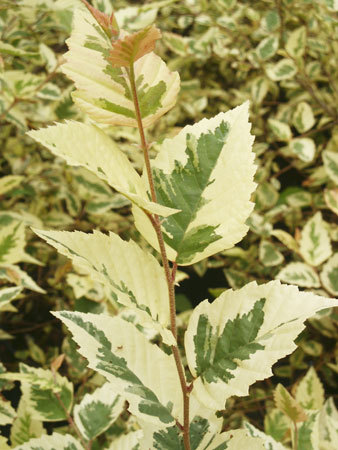 'Shiloh Splash,' a variegated river birch, stands out in a landscape.
