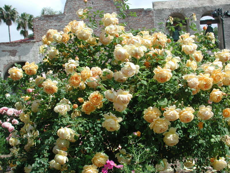 A David Austin rose called Golden Celebration