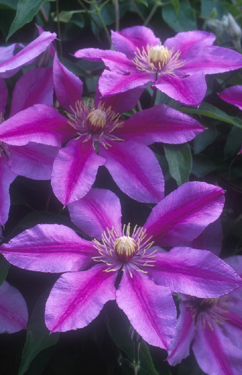 'Sugar Candy' is a lovely example of improvements in clematis, according to Tom Estabrook of Estabrook's in Yarmouth.