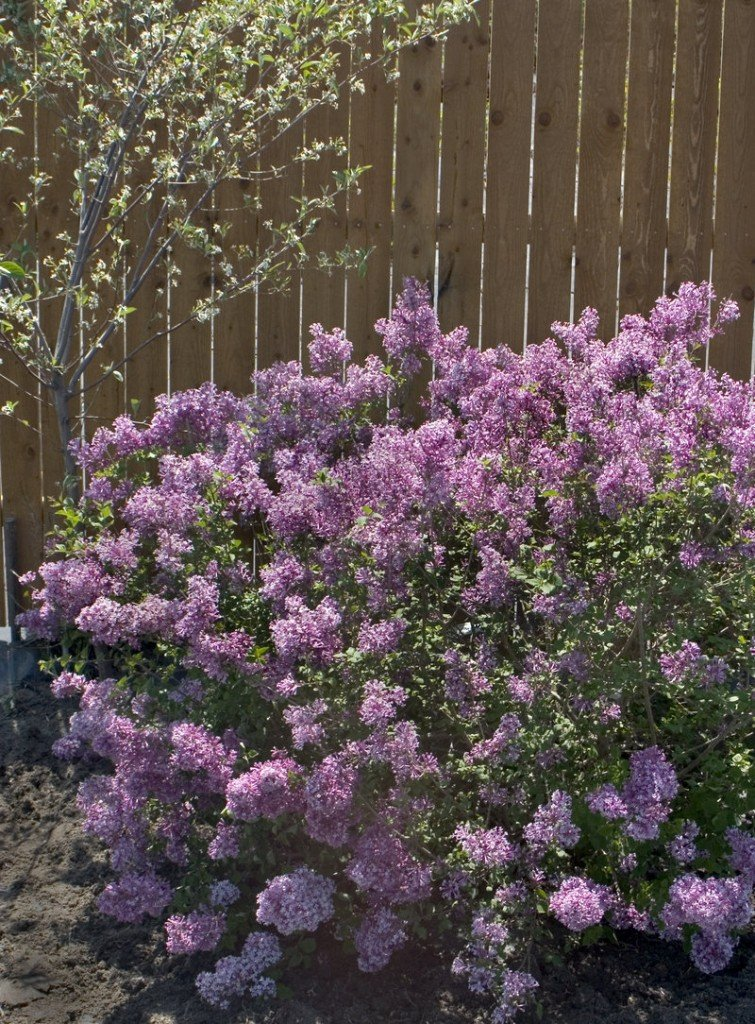 The new Bloomerang lilac will rebloom later in the summer.