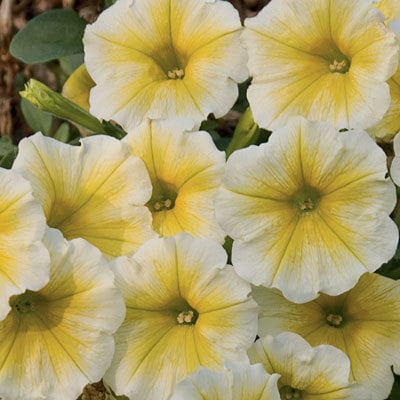 Supertunia Citrus