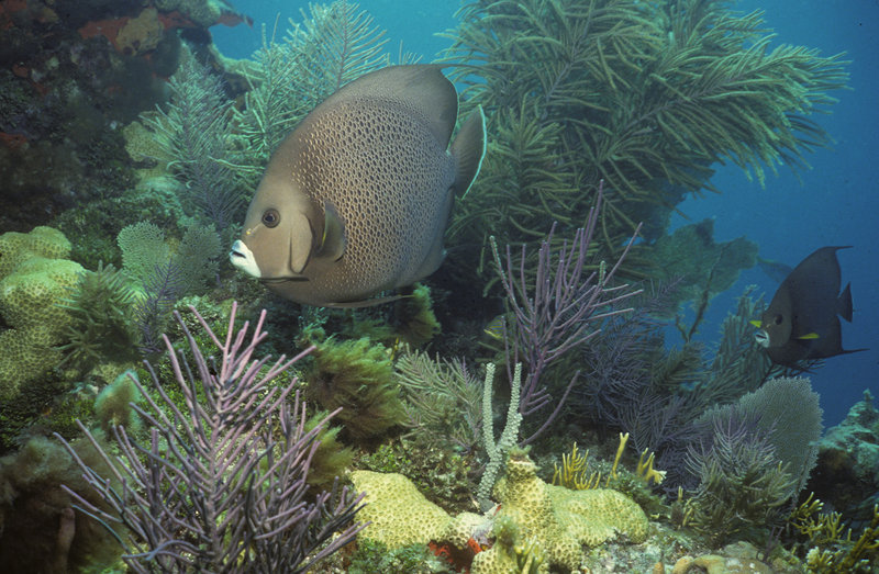 Image provided by NOAA shows a gray angelfish swimming amongst soft corals in the Florida Keys. Despite BP siphoning oil spewing into the Gulf of Mexico, worries escalated about the ooze reaching a major ocean current that could carry it through the Florida Keys.