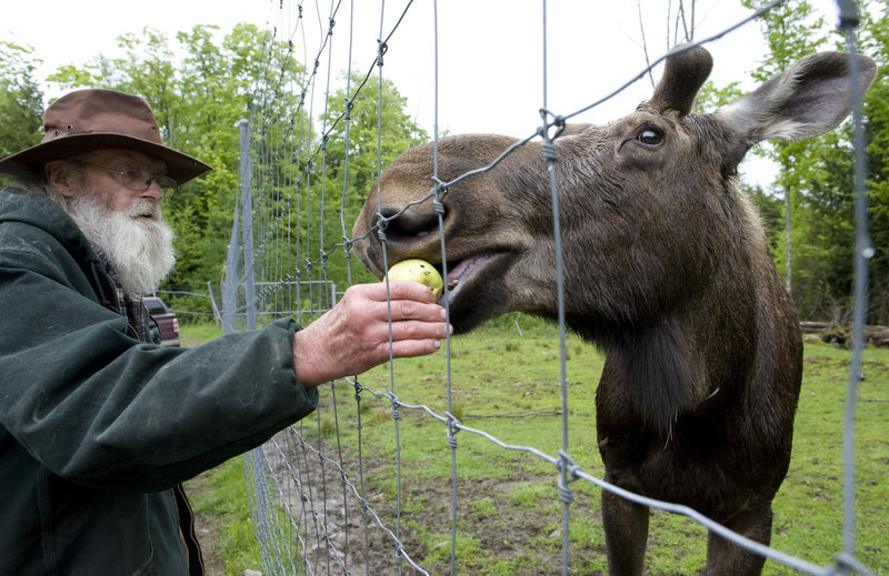 David Lawrence of Albany, Vt., feeds Pete the Moose this week at a game preserve in Irasburg, Vt. Pete's treats include hay, apples and the occasional candy bar.