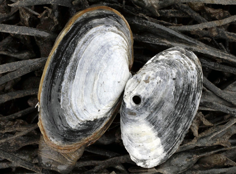 The remains of a softshell clam, right, the meat eaten by a moon snail, is posed beside a healthy clam.