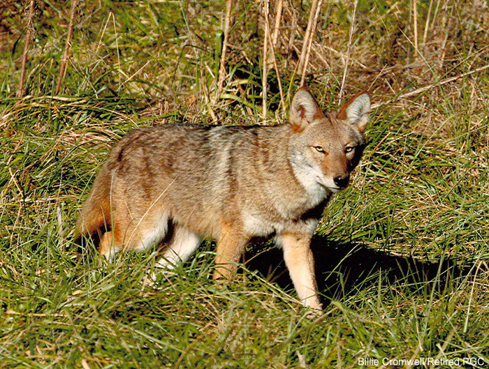 Coyotes aren't harmful to humans; they're useful instead, says a fan.