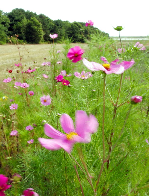 Delicate-looking cosmos with their fernlike leaves are tough as nails and easy to grow from seed.