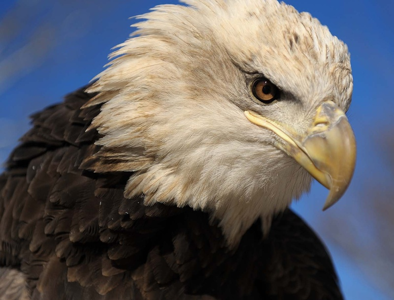 Lawrence, a bald eagle, will be part of presentations at the Maine Wildlife Park in Gray on July 3.