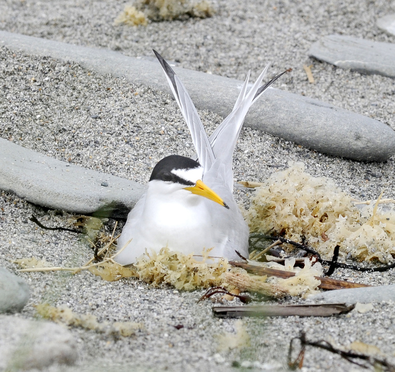 A least tern sits on her nest on Stratton Island.