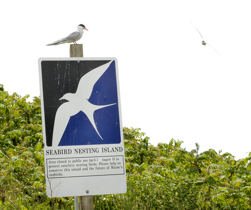 A common tern perches on a sign on Stratton Island cautioning visitors away from nests holding eggs.