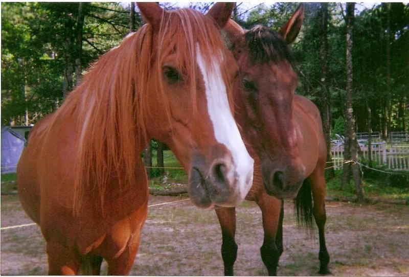 Horse ambassadors Lexxie and Fritz will make an appearance at Nonantum Resort in Kennebunkport today.