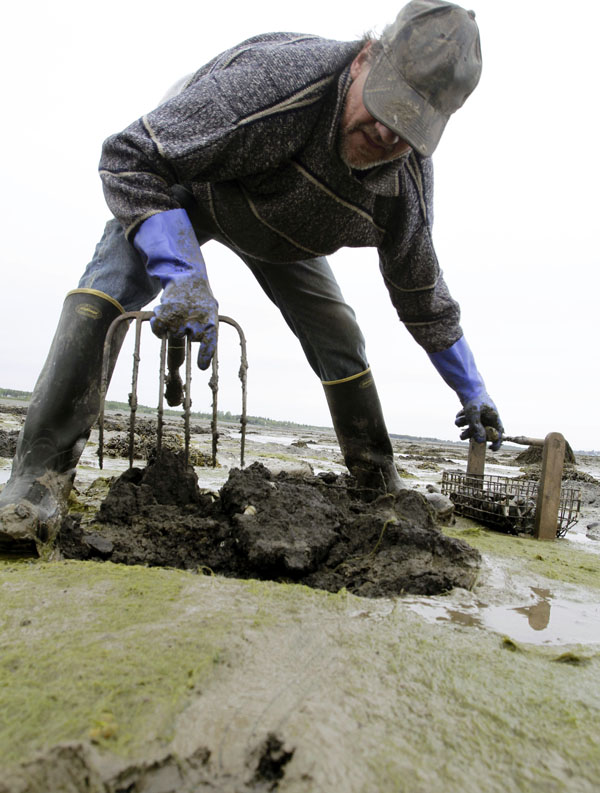 Clammer Bob Varney digs into the vast mudflats in Lubec. Generations of clam diggers have dug into the mud for tasty soft-shell clams. The harvest in Lubec has fallen by about 85 percent from 2006 to 2009.