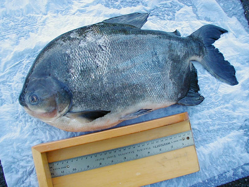 The Pacu is an ominvorouos fish native to South America.