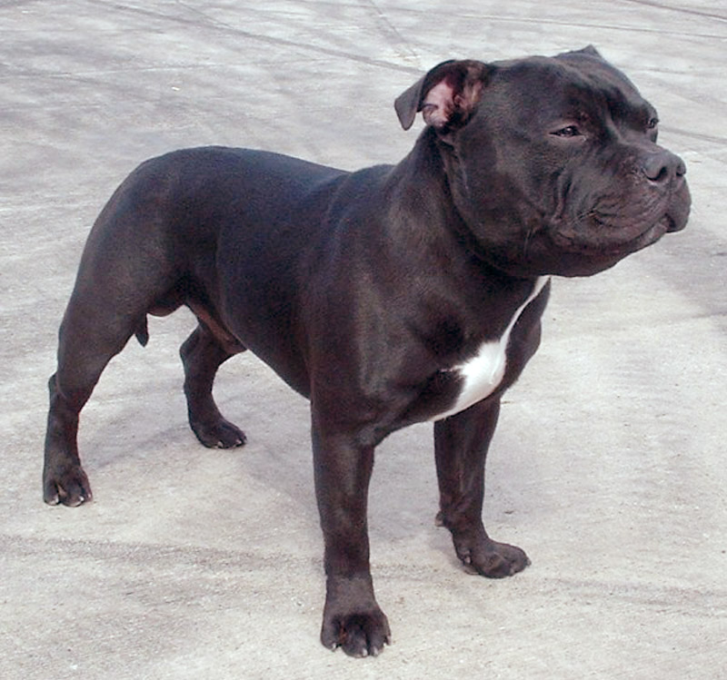 A Staffordshire bull terrier, one of the three breeds commonly recognized as a pit bull type dog.