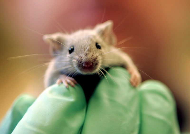 A laboratory mouse climbs on the gloved hand of a technician at the Jackson Laboratory in Bar Harbor, Maine. The lab ships more than two million mice a year to qualified researchers.