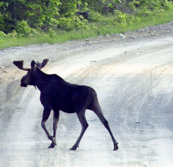 A bull moose crosses a logging road near Kokajo, Maine, on the eastern side of Moosehad Lake in 2001.