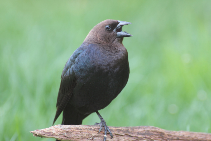 A male brown-headed cowbird. Females lay eggs in the nests of other birds, such as the yellow warbler, below, a practice called brood parasitism.