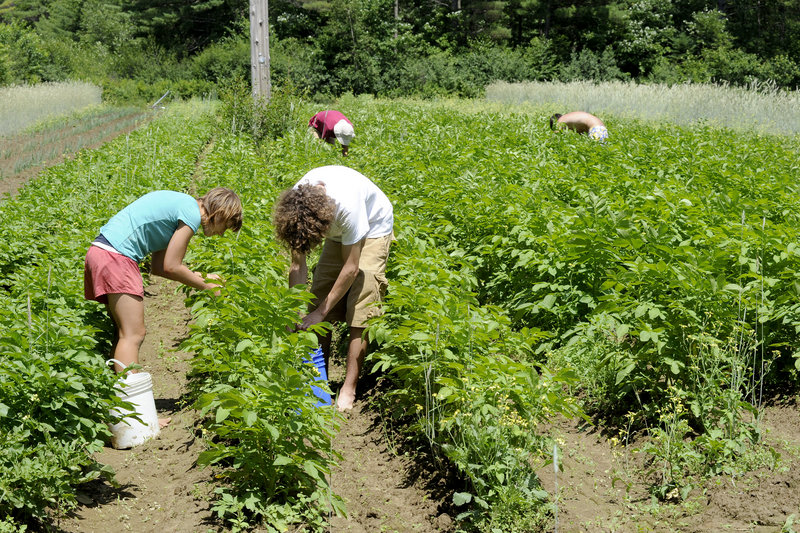 Kelsey Webb and her brother Christian remove potato beetles from plants at Meadowood Farm in Yarmouth. Maine farmers, including Meadowood's Bruce Hincks, want the USDA to reverse a decision to exclude potatoes from the WIC food program.