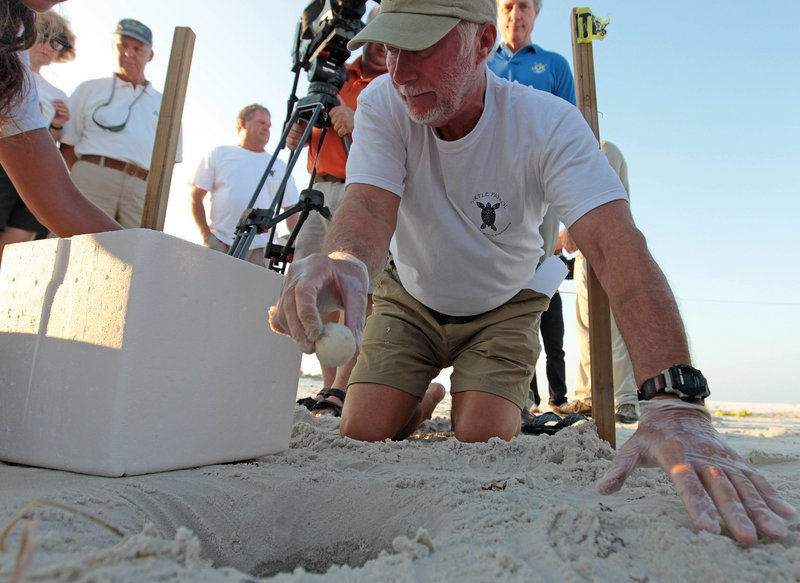 John Oliver gently lifts a loggerhead sea turtle egg from its nest and places it in a cooler after digging it up from the sand in Port St. Joe, Fla., on Friday.