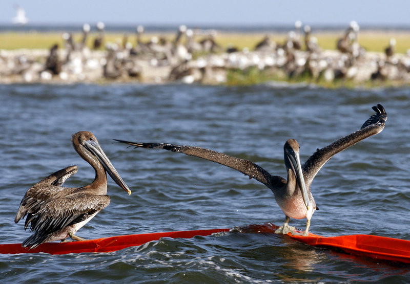Brown pelicans try to balance on an oil boom near Martin Island in St. Bernard Parish, La., Wednesday. A Caribbean storm moving toward the Gulf of Mexico has a 50-50 chance of becoming a tropical depression or tropical storm, which scientists fear could lead to a new oil disaster.