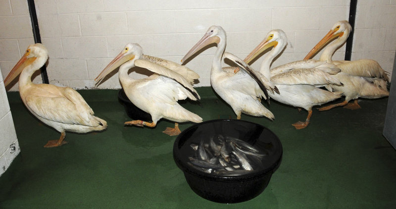 Five American white pelicans rescued from the Gulf oil spill are seen at the Brookfield Zoo in Brookfield, Ill. The birds arrived July 18 and after examinations and a 30-day quarantine period will be placed on permanent exhibit at the zoo's Formal Pool.