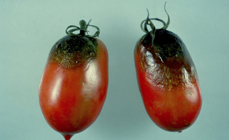 Brown, leathery spots appear on tomatoes on the top and sides. In humid conditions white mold will also form.