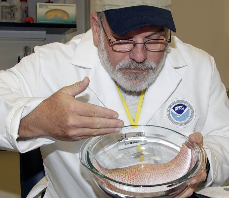 In this file photo, William Mahan of the University of Florida demonstrates how to smell for taint in seafood as he moves the air across a red fish filet at NOAA's seafood inspection program in Pascagoula, Miss.