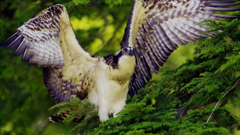 A juvenile osprey tests its wings in West Bath. A committee of the American Ornithologists' Union decided to classify ospreys in a separate family from New World hawks, kites and eagles.