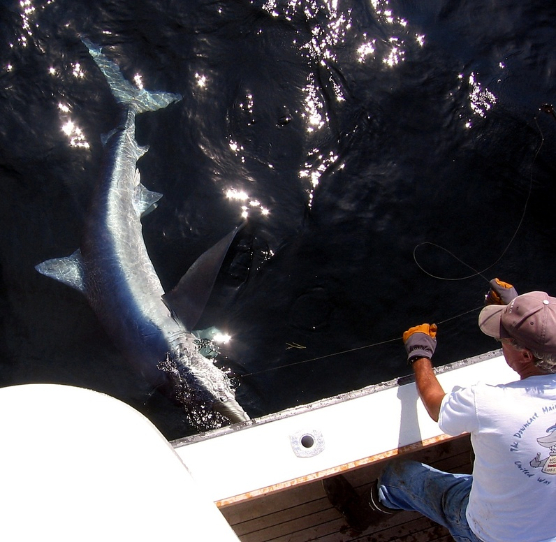 Captain Cal Robinson uses a gloved hand to handle the wire leader as he prepares to release a blue shark in the Gulf of Maine.