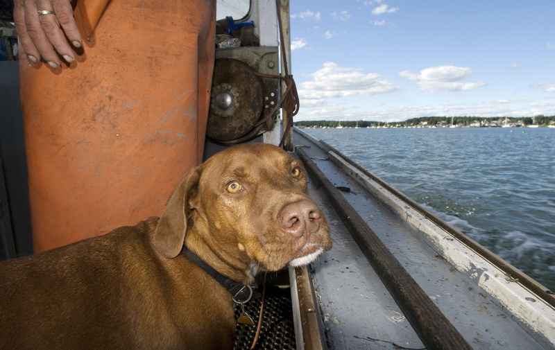 Red and his owner, Gary Libby of Port Clyde, head to shore after a recent day of lobstering. Red, with the backing of his hometown chamber of commerce, will be one of six contestants in the World Championship Boatyard Dog Trials in Rockland on Aug. 15.