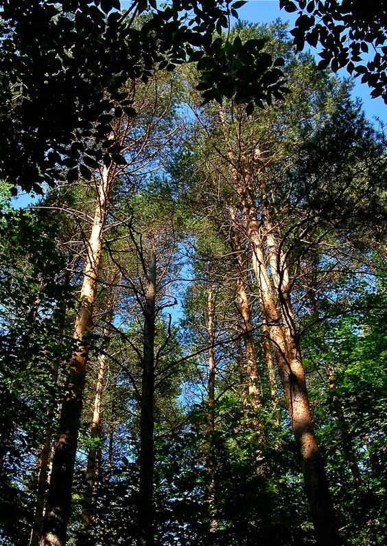 An impressive stand of red pine is part of 521-acre Dodge Point preserve.