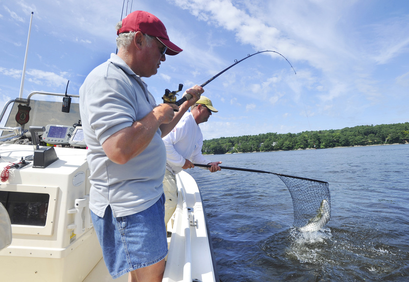 Harris nets a striper reeled in by his client, Ray Paradis, on the Kennebec River, which is still considered a destination striper fishery.