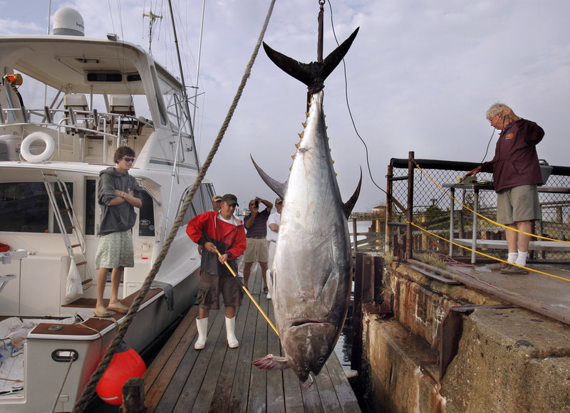 Chuck Horton, right, weighs a tuna brought in by the crew of the Pacifier on Thursday evening to Spring Point Marina in South Portland. The tuna weighed in at 684 pounds and is the largest catch brought in so far in the three-day 13th Annual Sturdivant Island Tuna Tournament. The angler who caught the tuna is Tyler McLaughlin, at left.
