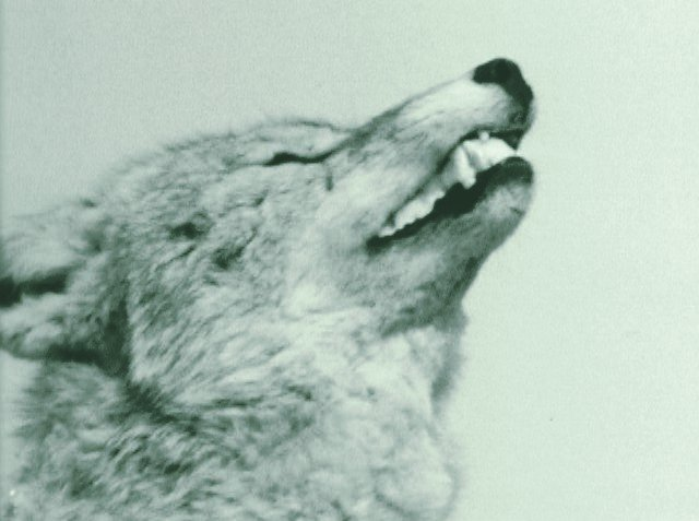 If wolves are ever to regain even a fair percentage of their former range, government policies have to change to make it possible.