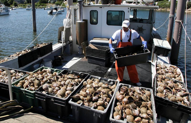 Yuliyan Bodurov unloads containers of conch from the Peggy B on July 2 in Wychmere Harbor, Harwich, Mass.