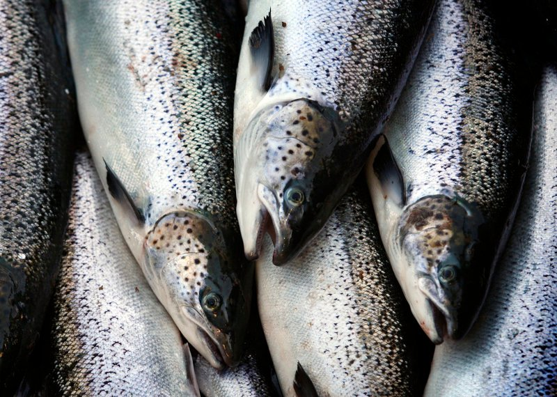 AquaBounty inserts part of a gene from an ocean pout into the growth gene of a Chinook salmon, then injects the blended genetic material into fertilized eggs of North Atlantic salmon, shown here.