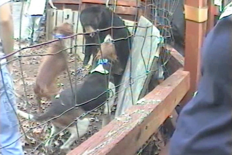 In this video image, dogs bark at a captive bear in Spartanburg, S.C. Bear baying, a training method for hunting dogs, is allowed only in South Carolina in the U.S.