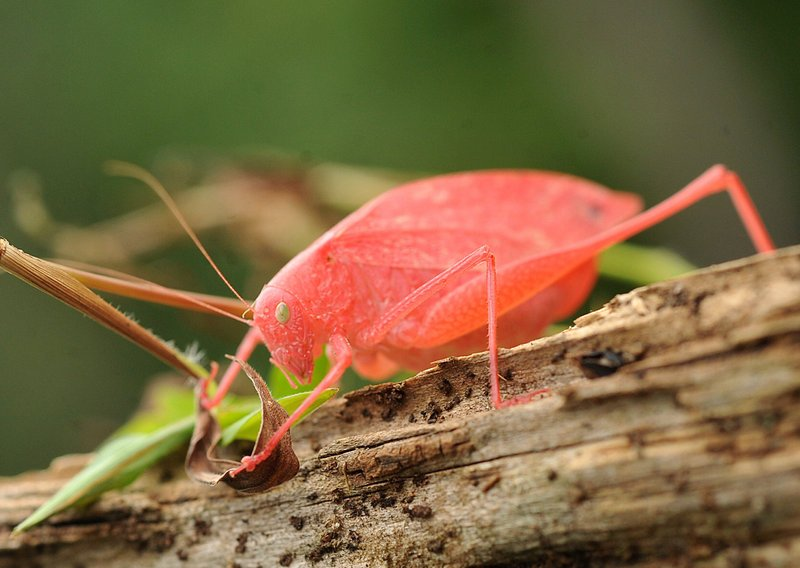 A rare pink katydid crawls in a yard in Springfield Township, Pa., Wednesday.