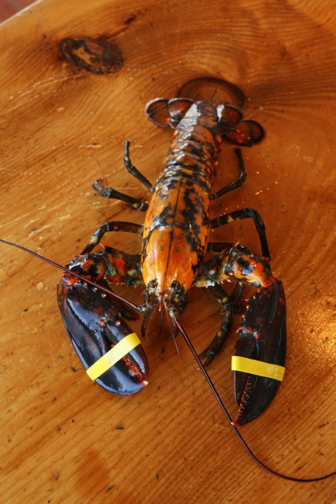 Larry and Crystal Dunne of Saco caught this calico lobster off the coast of Cape Elizabeth a few days ago. It is being kept at the Portland Lobster Co. in Portland, with orders not to eat it, while the Dunnes look for a home for it.