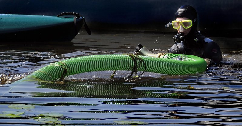 Mike Vieira, who works as a diver for the McVety Milfoil Removal Co., stuffs surface milfoil into the special vacuum hose of a milfoil-harvesting machine after coming up for a break from removing milfoil from Sebago Lake in Naples on Tuesday.