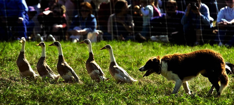 The Common Ground Country Fair, a celebration of all things agricultural, including sheepdog competitions, runs Friday through Sept. 26 at the Common Ground Fairgrounds in Unity.