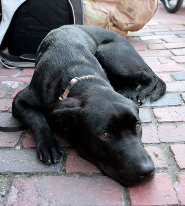 Stephen Osborne's black labrador-pit bull mix, Maverick, was taken from outside Matthew's on Free Street on September 26..