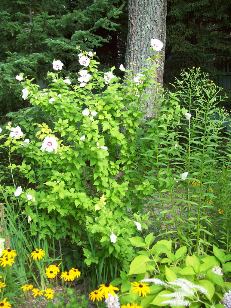 This garden includes anemone, rudbeckia and hosta – a real mix of colors and textures.