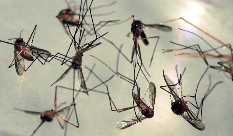 Cattail mosquitoes are seen in a petri dish for inspection at the Maine Medical Center Research Institute in South Portland. Cattail mosquitoes can transmit eastern equine encephalitis and West Nile virus to humans.