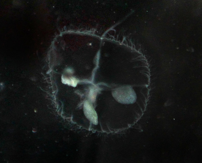 A jellyfish the size of a dime found at Walden Pond is seen in this photo. The sudden appearance of freshwater jellyfish at historic Walden Pond recently has puzzled researchers at the New England Aquarium.