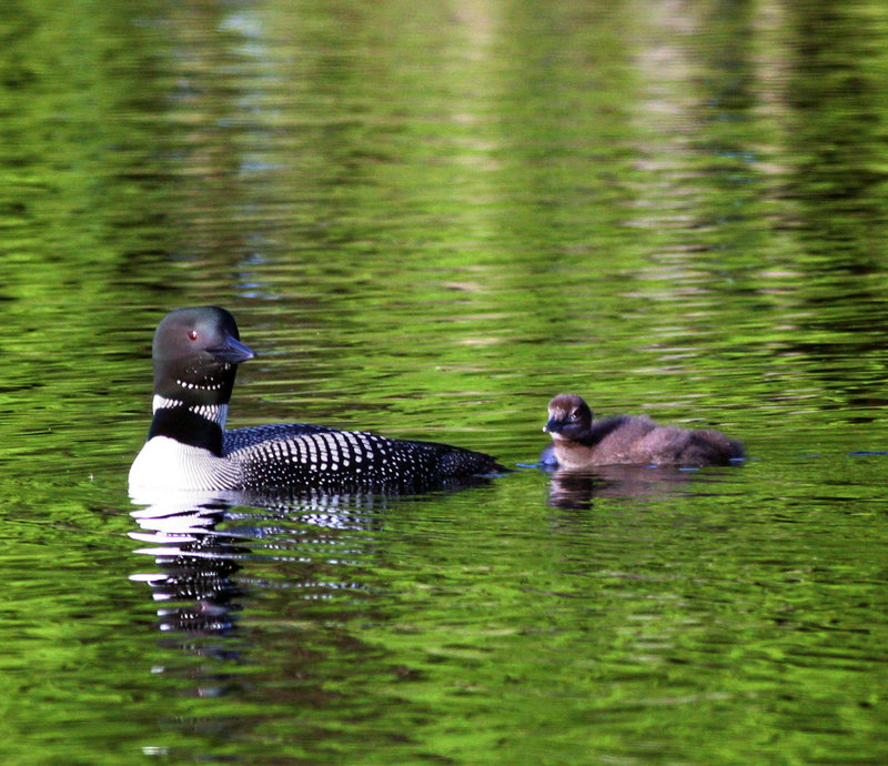 Loons, like this female with her chick on Little Sebago Lake, shed all of their primary flight feathers at once during molting. Flightless until the feathers regrow, they find sheltered wetlands to allow them to hide and feed until their primaries come in.